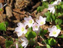 Oxalis acetosella Royalty Free Stock Photography