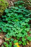 Oxalis-acetosella Lizenzfreie Stockfotografie
