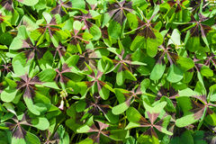 Oxalis acetosella background. In the garden stock image