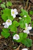 Oxalis-acetosella Blumen Lizenzfreie Stockfotos