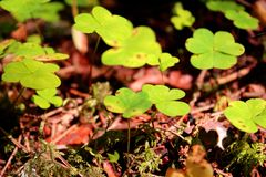 Oxalis acetosella close up royalty free stock photo