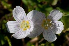 Oxalis acetosella in closeup Royalty Free Stock Image
