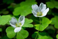 Oxalis acetosella. Common wood sorrel white flowers. Oxalis acetosella Royalty Free Stock Photos