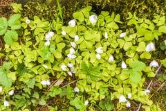 Oxalis-acetosella, das im Garten, Frühlingszeit I Polen blüht Stockbilder