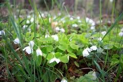 Oxalis-acetosella, Frühlingsblumen-Waldlichtung mit den weißen Knospen Lizenzfreie Stockbilder