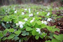 Oxalis acetosella, glänta för vårblommaskog med små knoppar Royaltyfri Fotografi