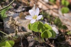 Oxalis-acetosella, hölzerner Sauerampfer, allgemeiner hölzerner Sauerampfer in der Blüte Stockfotos