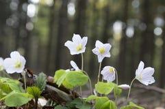 Oxalis-acetosella, hölzerner Sauerampfer, allgemeiner hölzerner Sauerampfer in der Blüte Stockfoto