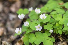 Oxalis-acetosella hölzerner Sauerampfer in der Blüte, weiße blühende Pflanze im Wald Stockfoto