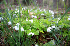 Oxalis acetosella, Spring flower forest glade with white buds Royalty Free Stock Images