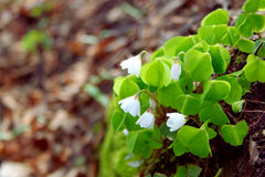 Oxalis acetosella - white wood flower. Common wood sorrel the plant has trifoliate compound leaves, the leaflets heart-shaped and folded through the middle, that Royalty Free Stock Images