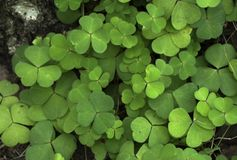 Wood Sorrel growing in the forest in summer. Royalty Free Stock Images