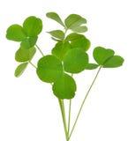 Oxalis acetosella (wood sorrel) plant. Isolated on white background Stock Image