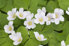 Oxalis-acetosella Woon-Sauerampfer Lizenzfreies Stockbild