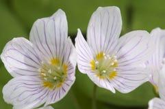 Oxalis-acetosella Woon-Sauerampfer Lizenzfreies Stockfoto