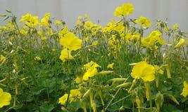 Oxalis amarillo Foto de archivo libre de regalías
