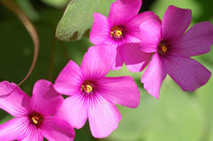 Oxalis articulata. Close up of oxalis articulata Royalty Free Stock Photography