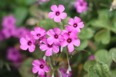Oxalis articulata, known as pink sorrel. Oxalis articulata, known as pink-sorrel,  pink wood sorrel, windowbox wood-sorrel, sourgrass, is a perennial plant stock photos