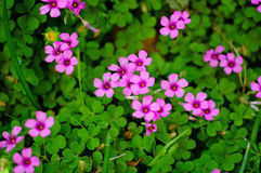 Oxalis articulata Stock Images