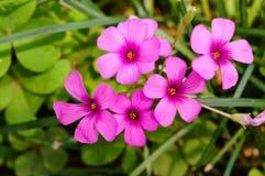 Oxalis articulata Stock Image