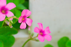 Oxalis articulata Royalty Free Stock Images