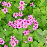 Oxalis blooming Royalty Free Stock Photos