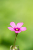 Oxalis blooming close up Royalty Free Stock Photo