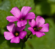 Oxalis Blooms with Bee Stock Images