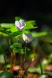 Oxalis-Blumen an der Dämmerung im Wald Stockfotografie