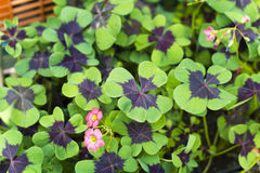 Oxalis . Close up of four leaf clover Royalty Free Stock Photography