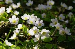 Oxalis. Close up oxalis - sorrel - acetosella royalty free stock image