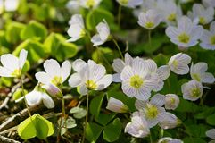 Oxalis. Close up oxalis - sorrel - acetosella royalty free stock photo