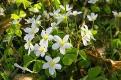 Oxalis. Close up oxalis - sorrel - acetosella stock photo