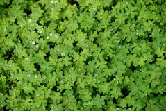 Oxalis clover Stock Images