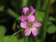 Oxalis cor-de-rosa Imagem de Stock Royalty Free