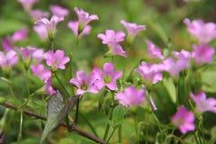 Oxalis cor-de-rosa Foto de Stock Royalty Free