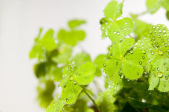The oxalis corniculata Stock Photography
