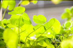 The oxalis corniculata Stock Image