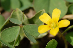 Oxalis corniculata. Close up of little flower of oxalis corniculata Stock Image