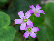 Oxalis corniculata also known as wood sorrelor creeping woodsor Royalty Free Stock Image