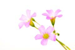 Oxalis corniculata flowers Royalty Free Stock Photos