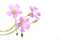 Oxalis corniculata flowers Royalty Free Stock Image