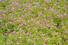 Oxalis corniculata background. Oxalis corniculata is a somewhat delicate-appearing, low-growing, herbaceous plant in the family Oxalidaceae Stock Photos