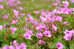 Oxalis corniculata background. Oxalis corniculata is a somewhat delicate-appearing, low-growing, herbaceous plant in the family garden royalty free stock photo