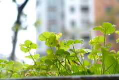 Oxalis corniculata Royalty Free Stock Photos