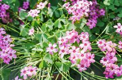 Oxalis blooming in summer stock photo