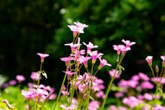 Oxalis corymbosa-Blooming wildflowers. Oxalis plant height, basal leaves and white flowers are blooming, rose red, pink, florescence in November. Rhizomes of the Royalty Free Stock Image