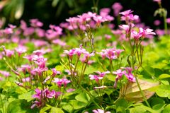 Oxalis corymbosa-Blooming wildflowers. Oxalis plant height, basal leaves and white flowers are blooming, rose red, pink, florescence in November. Rhizomes of the Royalty Free Stock Photos