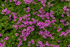 Oxalis corymbosa. Oxalis plant height, basal leaves and white flowers are blooming, rose red, pink, florescence in November. Rhizomes of the root of the ground Royalty Free Stock Photo