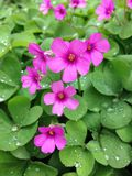 Oxalis corymbosa with rainy drops Royalty Free Stock Image